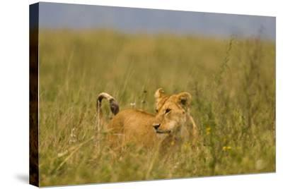 Tanzania, Africa: A Lioness Roams the Tall Grass in Serengeti National Park-Ben Horton-Stretched Canvas Print