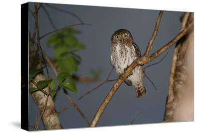 A Cuban Pygmy Owl, Glaucidium Siju, Perched in a Tree, Looking at the Camera-Cagan Sekercioglu-Stretched Canvas Print