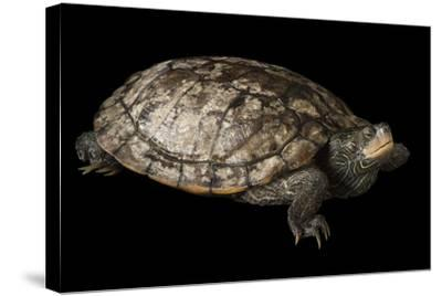 A False Map Turtle, Graptemys Pseudogeographica-Joel Sartore-Stretched Canvas Print