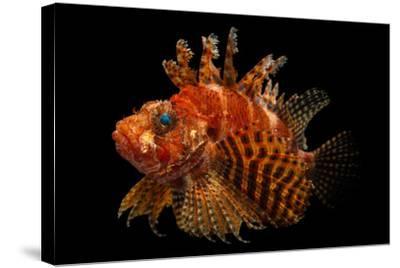 A Fuzzy Dwarf Lionfish, Dendrochirus Brachypterus, at Omaha's Henry Doorly Zoo and Aquarium-Joel Sartore-Stretched Canvas Print