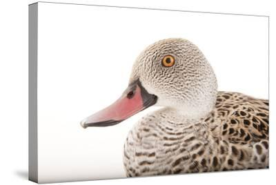A Cape Teal, Anas Capensis, Omaha's Henry Doorly Zoo and Aquarium-Joel Sartore-Stretched Canvas Print