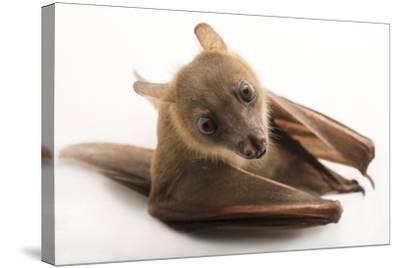 A Lesser Short-Nosed Fruit Bat, Cynopterus Brachyotis, at the Lubee Bat Conservancy-Joel Sartore-Stretched Canvas Print