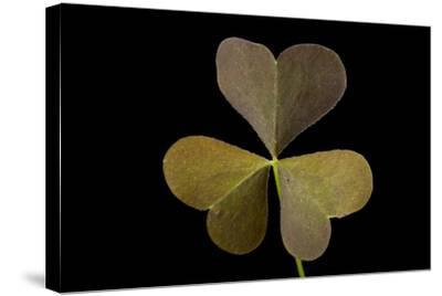 A Yellow Wood Sorrel Plant, Oxalis Stricta-Joel Sartore-Stretched Canvas Print