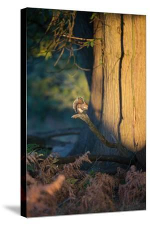 A Gray Squirrel Feeds in the Autumn Foliage of Richmond Park-Alex Saberi-Stretched Canvas Print