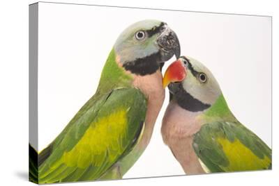 A Male and Female Red-Breasted Parakeet, Psittacula Alexandri, at Pandemonium Aviaries-Joel Sartore-Stretched Canvas Print