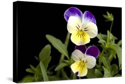 Viola or Sweet Violet Flowers, Viola Odorata-Joel Sartore-Stretched Canvas Print