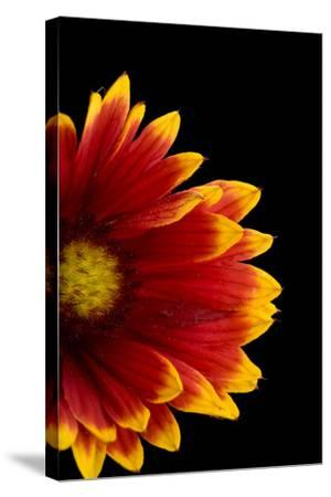 A Fire Wheel Flower, Gaillardia Pulchella-Joel Sartore-Stretched Canvas Print