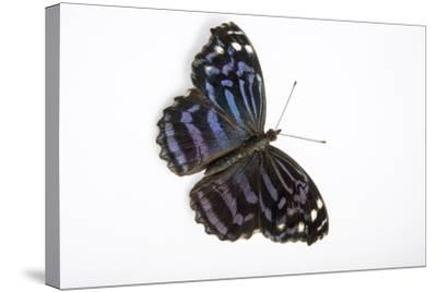 A Mexican Bluewing Butterfly, Myscelia Ethusa, at the Minnesota Zoo-Joel Sartore-Stretched Canvas Print