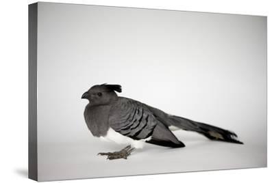 A White-Bellied Go-Away Bird, Corythaixoides Leucogaster-Joel Sartore-Stretched Canvas Print