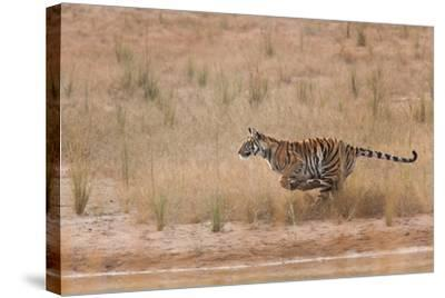 A Year-Old Bengal Tiger, Panthera Tigris Tigris, Running Along the Water's Edge-Jak Wonderly-Stretched Canvas Print