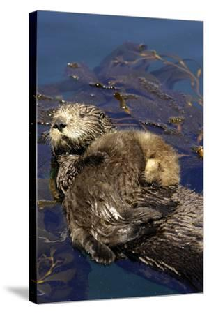 A Sea Otter Pup, Enhydra Lutris, Resting on its Mother's Stomach in a Kelp Bed-Jeff Wildermuth-Stretched Canvas Print