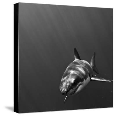 Portrait of a Great White Shark, Carcharodon Carcharias, Swimming-Jeff Wildermuth-Stretched Canvas Print