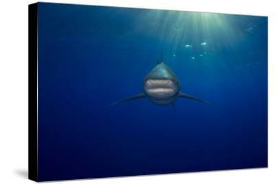 An Oceanic Whitetip Shark Swimming in the Open Ocean-Jim Abernethy-Stretched Canvas Print
