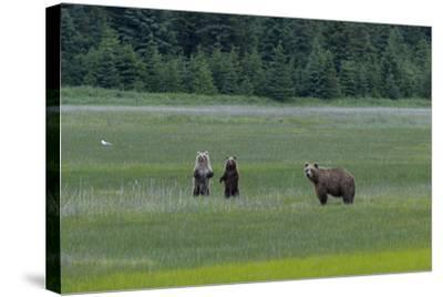 A Family of Grizzly Bears, Ursus Arctos Horribilis, are Alert to Another Bear-Barrett Hedges-Stretched Canvas Print