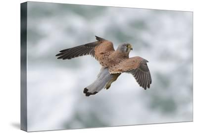 An Eurasian Kestrel, Falco Tinnunculus, Hovering While Hunting Rodents on Coastal Cliffs-Bertie Gregory-Stretched Canvas Print