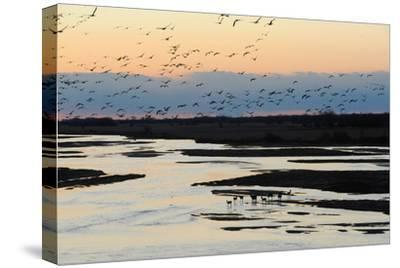 Sandhill Cranes Fly in Migration over White Tailed Deer-Michael Forsberg-Stretched Canvas Print