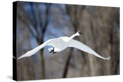 A Tundra Swan, Cygnus Columbianus, Glides Past a Wooded River Bank-Robbie George-Stretched Canvas Print