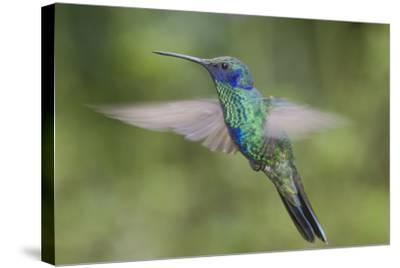 A Sparkling Violet Ear Hummingbird, Colibri Coruscans, in Flight-Bertie Gregory-Stretched Canvas Print