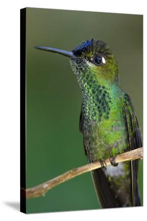 A Violet-Fronted Brilliant Hummingbird, Heliodoxa Leadbeateri, Perched on a Twig-Bertie Gregory-Stretched Canvas Print