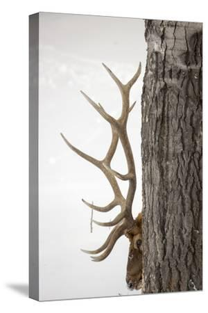 A Bull Elk, Cervus Elaphus, with Six Points on Each Side of His Antlers, Indicating Full Maturity-Robbie George-Stretched Canvas Print