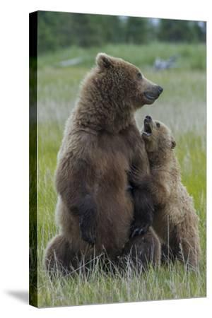 A Grizzly Bear Cub, Ursus Arctos Horribilis, Shows its Teeth to its Mother-Barrett Hedges-Stretched Canvas Print