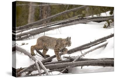 A Bobcat, Lynx Rufus, Walking Through a Snowy Landscape-Robbie George-Stretched Canvas Print