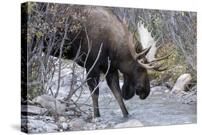 A Bull Moose, Alces Alces, Prepares to Drink from a Stream in Denali National Park-Barrett Hedges-Stretched Canvas Print