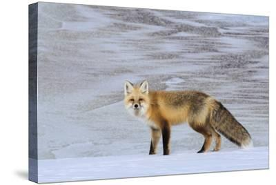 A Red Fox on the Snow-Tom Murphy-Stretched Canvas Print