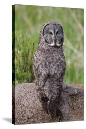 A Great Gray Owl Perches on a Log-Tom Murphy-Stretched Canvas Print