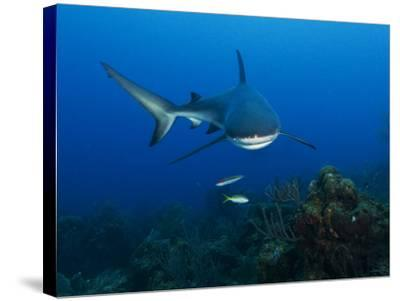 A Caribbean Reef Shark Swims in Waters Off Roatan Island-Cesare Naldi-Stretched Canvas Print