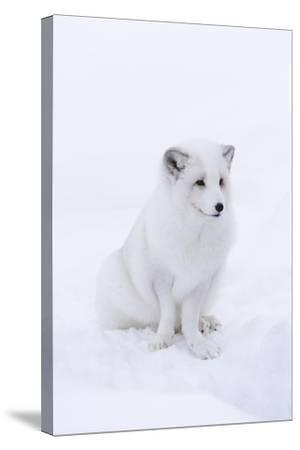 Portrait of an Arctic Fox, Vulpes Lagopus, Sitting in the Snow-Sergio Pitamitz-Stretched Canvas Print