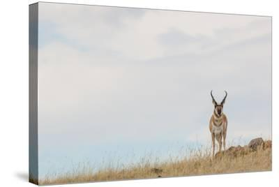 A Pronghorn Antelope Stands on a Grassy Hill Looking at the Camera-Tom Murphy-Stretched Canvas Print