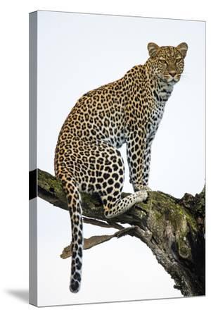 Leopard (Panthera Pardus) Sitting on a Tree, Ndutu, Ngorongoro Conservation Area, Tanzania--Stretched Canvas Print