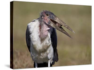 Marabou Stork (Leptoptilos Crumeniferus)-James Hager-Stretched Canvas Print