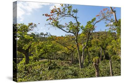 Typical Flowering Shade Tree Arabica Coffee Plantation in Highlands En Route to Jinotega-Rob Francis-Stretched Canvas Print