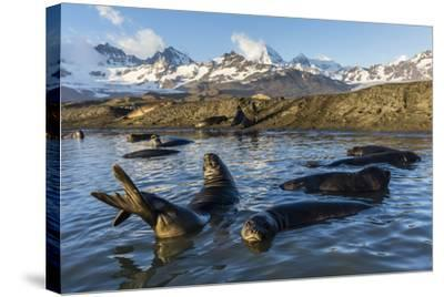 Southern Elephant Seal Pups (Mirounga Leonina), in Melt Water Pond, St. Andrews Bay, South Georgia-Michael Nolan-Stretched Canvas Print
