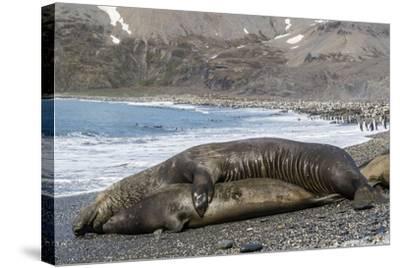 Southern Elephant Seals (Mirounga Leonina) Mating, St. Andrews Bay, South Georgia, Polar Regions-Michael Nolan-Stretched Canvas Print