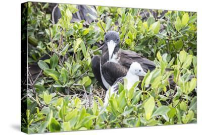 Frigate Bird Sanctuary, Barbuda, Antigua and Barbuda, Leeward Islands, West Indies-Roberto Moiola-Stretched Canvas Print