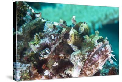 Tassled Scorpionfish (Smallscale Scorpionfish) (Scorpaenopsis Oxycephala)-Louise Murray-Stretched Canvas Print