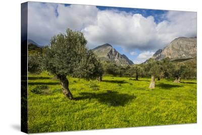 Blooming Field with Olive Trees, Crete, Greek Islands, Greece, Europe-Michael Runkel-Stretched Canvas Print