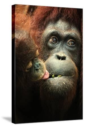 Orangutan and Baby-Lantern Press-Stretched Canvas Print