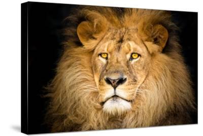 Lion Face-Lantern Press-Stretched Canvas Print