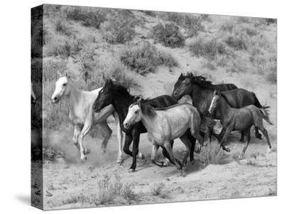 Group of Wild Horses, Cantering Across Sagebrush-Steppe, Adobe Town, Wyoming-Carol Walker-Stretched Canvas Print