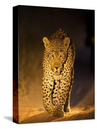 Leopard at Night, Sabi Sabi Reserve, South Africa--Stretched Canvas Print