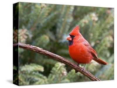Northern Cardinal Perching on Branch, Mcleansville, North Carolina, USA-Gary Carter-Stretched Canvas Print