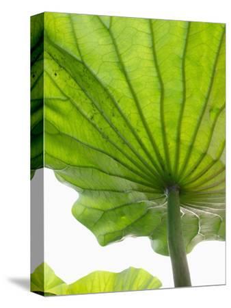 Lotus Leaf Texture-Michele Molinari-Stretched Canvas Print