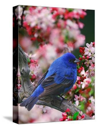 Male Indigo Bunting Among Crabapple Blossoms-Adam Jones-Stretched Canvas Print