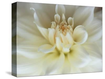 White Dahlia Close-up-Janell Davidson-Stretched Canvas Print