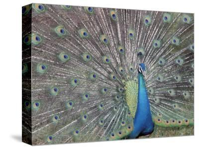 Peacock Displaying Feathers, Venezuela-Stuart Westmoreland-Stretched Canvas Print