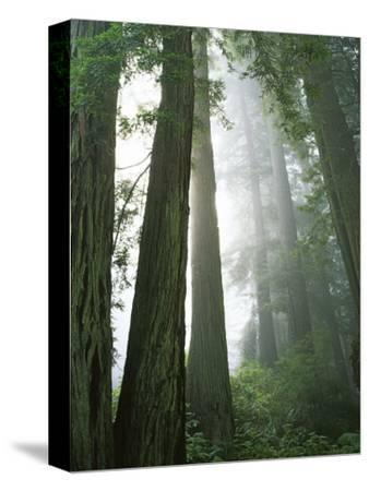 Redwoods in fog, Redwood National Park, California, USA-Charles Gurche-Stretched Canvas Print